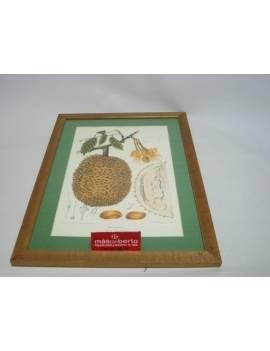 Cuadro fruto Durio Zibethinsu